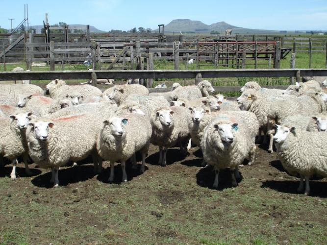 El MDA aprobó 24 proyectos en el marco de la ley ovina