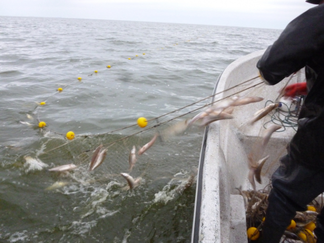 El MDA habilitó la pesca comercial de pejerrey en la laguna de Trenque Lauquen